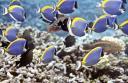 60-coco-island-weiskehldoktorfische1.jpg