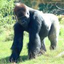 2013-09-25-gorilla4.jpg