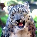 2013-09-25-schneeleopard.jpg