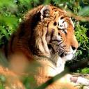 2013-09-25-tiger.jpg
