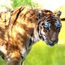 2013-09-25-tiger2.jpg