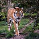 2015-09-18-tiger1.jpg