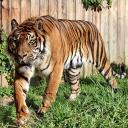 2015-09-18-tiger2.jpg